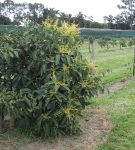 New Phytophthora resistant rootstock released
