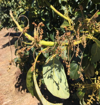 Panicle blight 2020