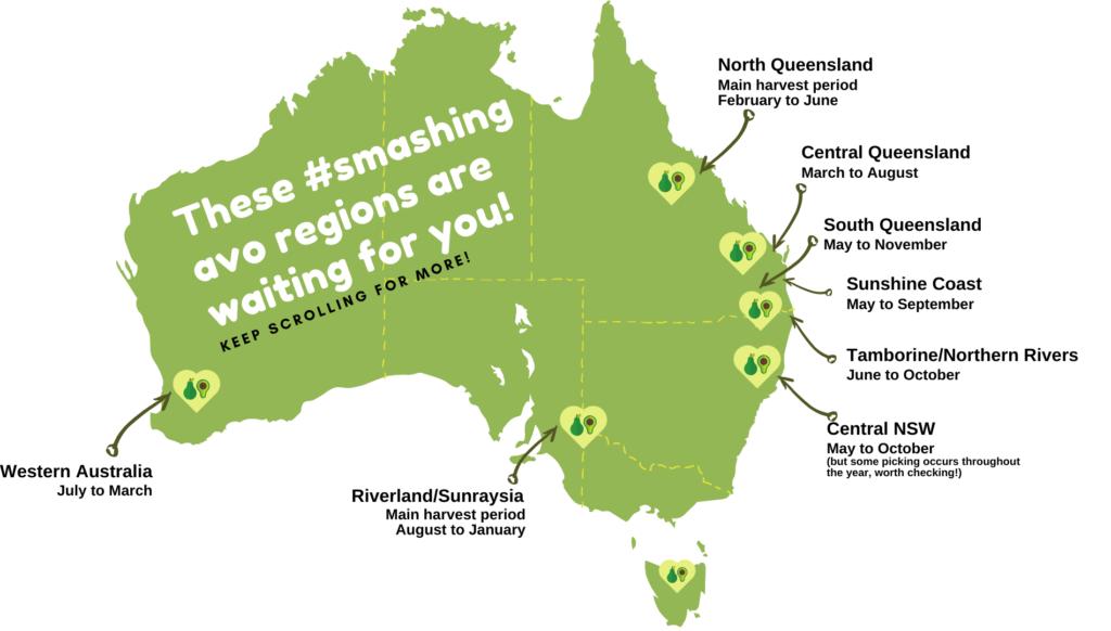 Australia's avocado harvest seasons