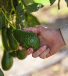 Image: Australian Avocados