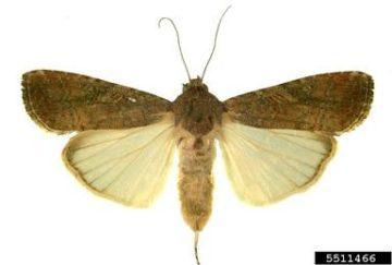 The fall armyworm moth